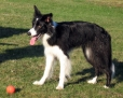 Border Collie, 1 year, White